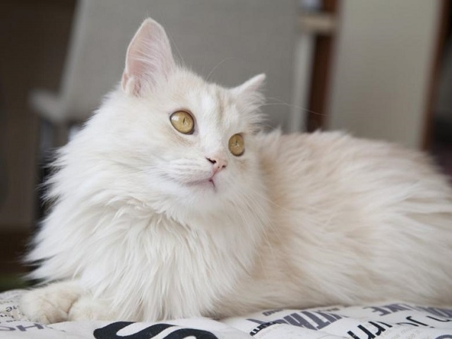 Metar Izdestilirati Mona Lisa Cat Angora Turk A Vendre A Dans Goldstandardsounds Com