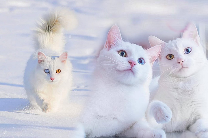 Van Mačka