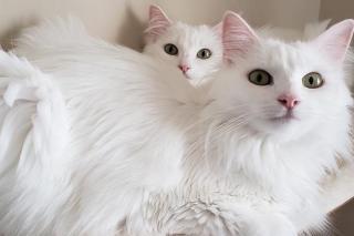 Turkkilainen Angora Kissa